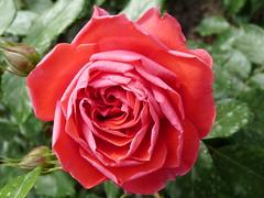 Mainau (bjoernh1711) Tags: flowers germany deutschland bodensee allemagne badenwrttemberg lakeconstance blumeninsel