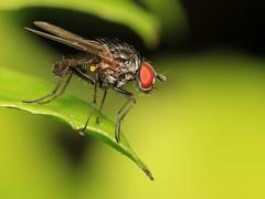 Beauty....... (bugpics99) Tags: flydayfriday fly fdf diptera canon eos 550d bokeh specinsect