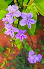 La simple vida (Bonsailara1) Tags: bonsailara1 flowers wild purple purpura redsoil small malaysia malasia pengerang johor