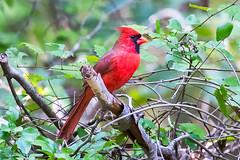 Cardinal 2016 28 (Jim Dollar) Tags: jimdollar cardinal zenglen indianland sc southcarolina scenesfrommyhammock birds canon6d