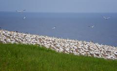 Gannet Colony (Golden_Arrow) Tags: gannet colony perce quebec bonaventure island