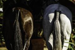 Polo. The sport of kings. (Evelina Jakovlevskaja) Tags: equinephotographer equestrianphotography equinephotographers equinephotographerforhire equinephotographerderbyshire equinephotographeruk equinephotographerscotland equinephotographerwanted equinephotographery horsephoto horsephotography horsephotographer horsephotog pferdefotograf bestofequines youandyourhorse equup equinephotographerireland equinephotographergermany equinephotographeritaly bestequinephotographer besthorsephotographer migliorfotografocavallo meilleurphotographedecheval najlepszymfotografemkoni bestepferdfotograf photographedecheval pferdpolofotograf chevalphotographedepolo chevalphotographesaut springreitfotograf fotografogaloppo fotografgalop photographegalope fotografomilano equineeventphotographer fotografodieventiequine pferdeeventfotograf equineeventphotographersussex hstfotograf hst mejorfotgrafodelcaballo eniyiatfotoraf legjobblfots photographequin photographiequestre lfots lpolofots djugratfots koskaczefotografa caballosaltandofotgrafo fotgrafocavalodesalto fotgrafopolocavalo melhorfotgrafoeqino fotgrafogalope fotgrafogalop quinphotographevnement atolayfotoraf fotgrafodeeventoseqinos equinehndelsefotograf