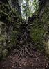 Fonódás (Delfinibi) Tags: magyarország hungary ungarn olympusepl5 olympus outdoor olympusm1442mmf3556iir mzuiko zuiko visegrádihegység pilis dobogókő pilisszentkereszt fa wood forest tree erdő gyökér szikla rock természet nature natur natural növény okt kéktúra root 100v10f epl5