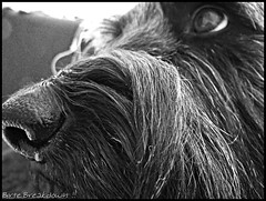 13. Juni 2011 (We_Rule_The_World) Tags: schnauzer hund kira augen nase mischling schferhund
