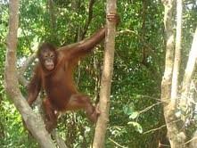 Orangutan, Kota Kinabalu, Malaysia