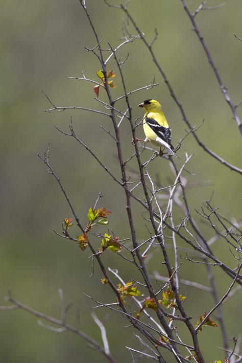 060711_bird_americanGoldfinch