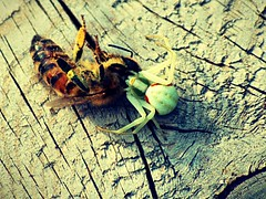 Spider Bite (Kim Ledin) Tags: food insect spider kill wasp insects feed spiderbite