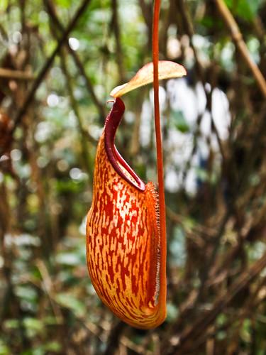 Planta carnívora II