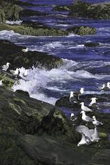 seagulls (ffaal) Tags: ocean summer seagulls coast rocks waves maine newengland shore atlanticocean 2011