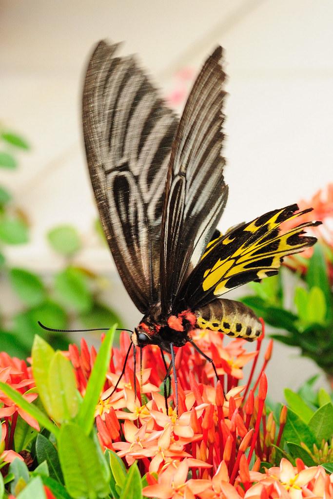 黃裳鳳蝶 Troides aeacus formosanus