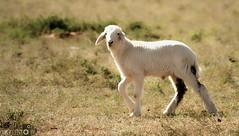 Baby sheep (photography AbdullahAlSaeed) Tags: camera baby speed canon eos exposure sheep no flash taken iso ev saudi arabia 1800 sa length 000 province fstop bias focal iso125 50d aflock f5600 0001s usingacanoneos50d 20110324 2011inalqasim babysheepsheephdrsheep2011201120112011hdralqassimprovincesaudiarabia2011thisphotowastakenmarch25alqasimsausingcanoneos50daflockalqassimprovincesaudiarabiasaudiaflock babysheepsheephdrsheep2011201120112011hdralqassimprovincesaudiarabia2011thisphotowastakenmarch25alqasimsausingcanoneos50daflockalqassim thisphotowastakenonmarch24 lensef70300mmf456isusmthisphotowastakenonmarch24 093526 30000mm