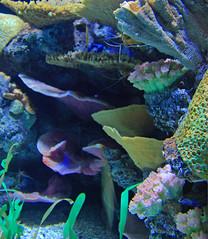 Aquarium Blues (Woody H1) Tags: chattanooga coral aquarium nikond70 tennessee reef catchycolorsblue