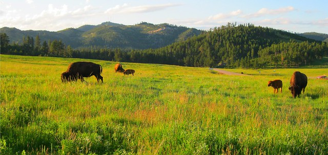 wild buffalo (bison)