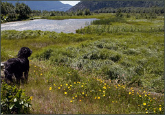 farley's pond (tesseract33) Tags: world travel summer dog dogs water field river nikon kiteboarding estuary wetlands fields marsh kiteboard squamish nikondigital squamishspit squamishestuary gooldendoodle tesseract33 peterlangphotography jeffkindree