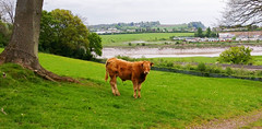 Cattle (Mark Hobbs@Chepstow) Tags: cameraphone camera dog wales train photography nikon ship d750 fullframe fx chepstow monmouthshire hgv d7100 markhobbs