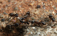 Ant attack (Peter Collingridge) Tags: macro ant
