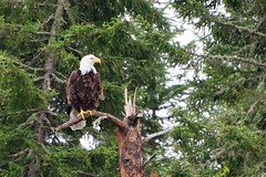 If I look cool enough, maybe someone will GIVE me a fish (Bergersoft) Tags: ontario canada bird eagle baldeagle majestic ingolf