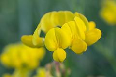 Bird's Foot Trefoil (Lotus corniculatus) (InnesAlison) Tags: summer flower nature wildflower decew