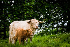 Hairy Coo.... (Andrew.Block) Tags: hairy scotland cow highlandcattle cawdorcastle