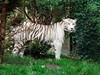 Tigre blanc (elodiemuhlach) Tags: tigreblanc tigre félin zoo amnéville zooamneville animaux
