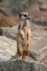 Meerkat, Edinburgh Zoo, Scotland (davygenney) Tags: meerkat scotland edinburghzoo edinburgh