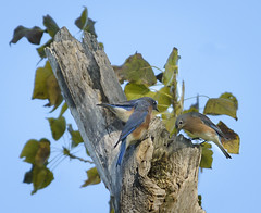 Bluebird Meeting (swmartz) Tags: nikon nature newjersey outdoors trentonmarsh mercercounty birds bluebird