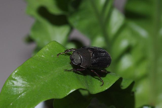 請問大大這是啥東東?是金龜子,還是甲蟲?