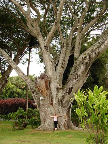 king kamehameha tree
