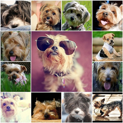 """A bunch of cuties from my flickr group """"Yorkie, Shorkie, Morkie"""""""