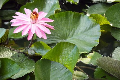 20110620白河蓮花季-5668