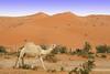 Camel (TARIQ-M) Tags: texture landscape sand waves desert dunes camel camels riyadh saudiarabia بر الصحراء جمال الرياض صحراء رمال جمل ابل رمل canonef70200mmf4lusm طعس نياق المملكةالعربيةالسعودية canon400d الرمل ناقة خطوط نفود الرمال كثبان تموجات الخرارة تموج نفد فيضةالخرارة