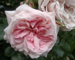 Octavia Hill Rose 3 (triciawd) Tags: roses clematis lavender fuschia hydrangea honeysuckle petunia peonies astilbeflowers galiardia heucheraflowers
