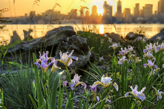 Sunrise Over Seattle Skyline View from Seacrest Park in Alki Beach Washington - HDR (David Gn Photography) Tags: seattle morning flowers light plants skyline sunrise landscape washington spring rocks cityscape parks alkibeach pugetsound 1001nights hdr irises 3xp seacrestpark canoneos7d sigma2470mmf28ifexdghsm mygearandme sigma50th