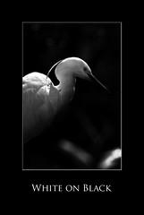 Aigrette blanche (nathaliehupin) Tags: bird blijdorp paysbas 2009 oiseau allrightsreserved aigrette photographebruxelles nathaliehupin vacances2009 aot2009 photographeluxembourg photographehainaut photographenamur photographeliege photographemons photographebelgique wwwnathaliehupinbe wwwnathaliehupingraphismebe