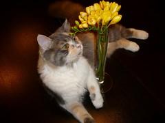 Zizi egy ves!..Zizi one year old!! (KszegiZska) Tags: cats nature animal hungary budapest zizi kytty friendsofzeusphoebe