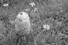 Coprinus comatus (ShinyPhotoScotland) Tags: blackandwhite nature closeup manipulated photography scotland highlands flora dof arty bokeh places gb dxo environment minimalist stacked inverness strathnairn shapeform genrearty