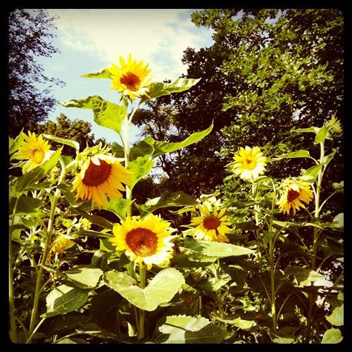 sunflowers-along-the-kansas-river