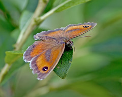 Gatekeeper butterfly (Pyronia tithonus), Brandon Marsh, Warwickshire 05Jul11 (Lathers) Tags: brandon warwickshire pyroniatithonus gatekeeperbutterfly nbw canonef300mmf4lisusm canon7d wildinthemidlands wkwt 05jul11