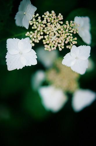 Blurred Hydrangea #4 by chizuru-bis
