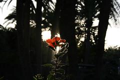 Hermoso contraluz con nuestros hermosos hibiscos hibiscus