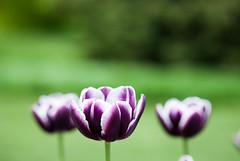 niagara | black tulips (knipserkrause) Tags: canada flower niagara tulip blume 70210 tulpe