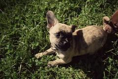 Goo-butt; (-Iddy) Tags: chihuahua mutt pug mario dachshund donations fundrasier