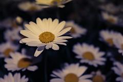 Awake (AngieAngelAngela) Tags: flowers light night nacht flash blumen blitz daysies margeriten