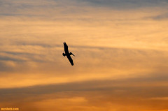 Pelican1087 (mcshots) Tags: california travel sunset sky usa bird nature birds animals clouds coast wings wildlife stock flight feathers socal mcshots southbay springtime seabirds losangelescounty