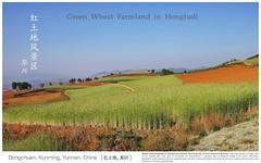 Wheat Farmland in Hongtudi