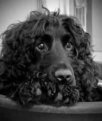 The Baz Man (Photo Gal 2009) Tags: dog black canine blackdog paws cockerspaniel bazil dogpaw doleful workingdog dogportrait englishcockerspaniel workingcocker blackcocker