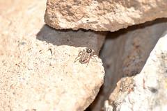 Arañita saltarina (esta_ahi) Tags: españa fauna spider spain araña tarragona arachnida aranya tarragonès salticidae menemerus semilimbatus испания menemerussemilimbatus constantí