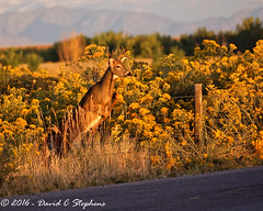 Young Buck Jumps Fence at Sunrise (Explored) (dcstep) Tags: aurora colorado unitedstates us f4a7356dxo cherrycreekstatepark allrightsreserved copyright2016davidcstephens dxoopticspro111 nature urban urbannature sanctuary naturesanctuary deer whitetaildeer fence jumping jumpingfence morning canon5dsr buck youngbuck ef70200mmf4lis explored explore 483