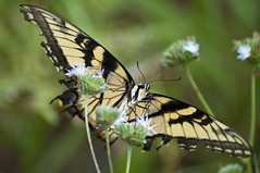 Eastern Tiger Swallowtail (Papilio glaucus) (fisherbray) Tags: fisherbray usa unitedstates florida okaloosacounty santarosacounty holt stateforest blackwaterriver river wasser water nikon d5000 bearlake trail hiking easterntigerswallowtail papilioglaucus swallowtail butterfly schmetterling