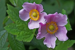 aren't we a pair (charlottes flowers) Tags: anemone sanfranciscobotanicalgarden pink